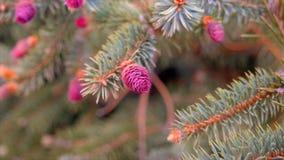 De jonge roze kegels op de pijnboomboom vertakt zich close-up stock videobeelden