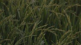 De jonge slag van de padieinstallatie door de wind stock video