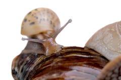 De jonge slak van het slakland op witte macro als achtergrond Royalty-vrije Stock Afbeeldingen