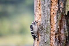 De jonge specht streek op oude boom neer en zoekt insecten Stock Fotografie