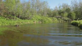 De jonge sprongen van de herdershond in de rivier met een stok de hond voert het bevel van de eigenaar uit stock videobeelden