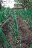 De jonge spruit van de de lenteui op het gebied Organisch gekweekte uien met bieslook in de grond De organische landbouw het voed royalty-vrije stock foto's