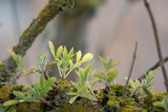 De jonge spruiten groeien van een oude tak royalty-vrije stock foto's