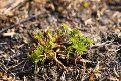 De jonge spruiten van gras ontspruiten bij het branden na een brand van grasbrand Gevolgen van een catastrofe De lentetan groene  royalty-vrije stock fotografie