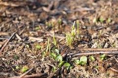 De jonge spruiten van gras ontspruiten bij het branden na een brand van grasbrand Gevolgen van een catastrofe De lentetan groene  stock foto's