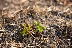 De jonge spruiten van gras ontspruiten bij het branden na een brand van grasbrand Gevolgen van een catastrofe De lentetan groene  stock afbeelding