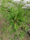 De jonge spruiten van de lariks stock afbeelding
