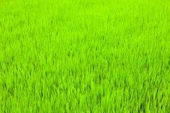 De jonge spruiten van rijst op een gebied Stock Afbeelding