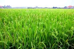 De jonge spruiten van rijst op een gebied Royalty-vrije Stock Foto's