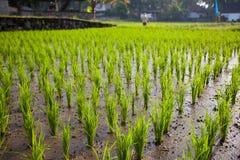 De jonge spruiten van rijst op een gebied Stock Foto