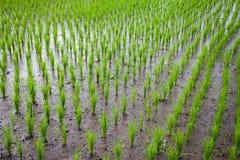 De jonge spruiten van rijst op een gebied Royalty-vrije Stock Afbeelding