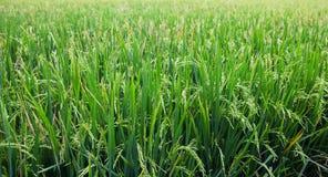 De jonge spruiten van rijst op een gebied Royalty-vrije Stock Fotografie