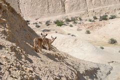 De jonge steenbok van babynubian in Negev-woestijn, Nahal Tzin en Ein Avedat door Sde Boker in Zuidelijk Israël stock foto
