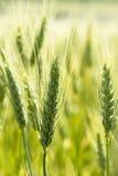 De jonge tarwe sluit waaier Stock Fotografie