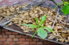 De jonge Terminalia-tak van de catappaboom met onscherp geel blad  Stock Afbeeldingen