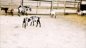 De jonge vechtsporten van de geitenpraktijk in dierentuin stock video