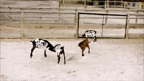 De jonge vechtsporten van de geitenpraktijk in dierentuin stock footage