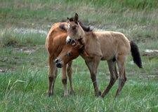 De jonge veulennen stoeien in de steppe Royalty-vrije Stock Afbeelding
