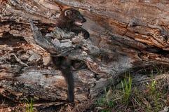 De jonge Visser (Martes-pennanti) klampt zich aan Logboek vast Stock Afbeelding