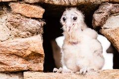 De jonge vogel van de schuuruil Stock Foto's