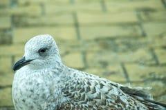 De jonge vogel van de haringenmeeuw op een voetgebied Royalty-vrije Stock Afbeelding