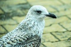 De jonge vogel van de haringenmeeuw op een voetgebied Royalty-vrije Stock Fotografie