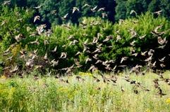 De jonge vogels verzamelen zich in talrijke lawaaierige scholen royalty-vrije stock foto