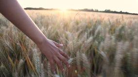 De jonge volwassen vrouwen vrouwelijke meisjes overhandigen het voelen van de bovenkant van een gebied van gerstgewas bij zonsond stock footage