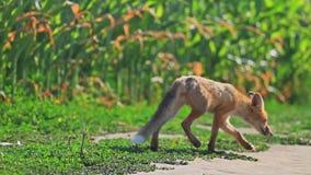 De jonge vos snuift de wind stock videobeelden