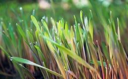 De jonge vriendschappelijke spruiten van de spruiten groene rogge met zonnige dauwdalingen op land Royalty-vrije Stock Foto