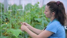 De jonge vrouw bindt komkommerinstallaties in serre op landbouwbedrijf stock video