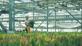 De jonge vrouw draagt tulpen in handen terwijl het werken in een serre stock videobeelden