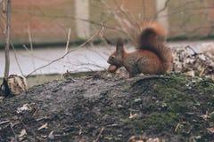 De jonge vrouw voedt eekhoorn in de herfstbos Stock Afbeeldingen