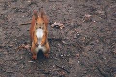 De jonge vrouw voedt eekhoorn in de herfstbos Royalty-vrije Stock Afbeelding