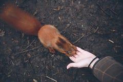 De jonge vrouw voedt eekhoorn in de herfstbos Royalty-vrije Stock Fotografie
