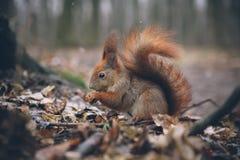 De jonge vrouw voedt eekhoorn in de herfstbos Royalty-vrije Stock Foto's