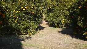 De jonge vrouw werpt sinaasappelen in de oranje tuin stock footage