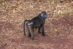 De jonge vrouwelijke baviaan die nat tijdens de regen worden Royalty-vrije Stock Afbeeldingen