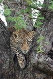De jonge vrouwelijke luipaard geeft direct oogcontact van een boom stock foto's