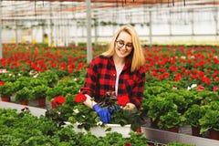 De jonge vrouwelijke tuinman in in serre werken, en handschoenen die bloeit planten behandelen royalty-vrije stock afbeelding
