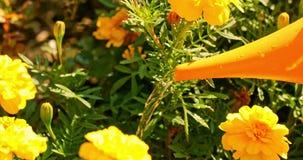 De jonge vrouwenzomer in de tuinzorgen voor bloemen, installaties Het meisje op het landbouwbedrijf is bezig geweest met het plan stock videobeelden