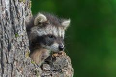 De jonge Wasbeer (Procyon-lotor) kijkt uit van Knothole Stock Foto's
