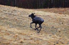 De jonge Weg Toneelweergeven van Amerikaanse elandenalaska stock afbeelding