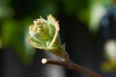 De jonge wijnstok nieuwe groei, een knop op een tak in de zon van de ochtendlente Een teken van de lente en het wekken in de tuin royalty-vrije stock foto's