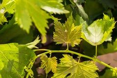 De jonge wijnstokbladeren in de zon - Beeld - sluiten omhoog royalty-vrije stock afbeeldingen