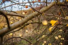 De jonge wilde die appel door appel wordt geacclimatiseerd, sluit omhooggaande en selectieve nadruk stock fotografie