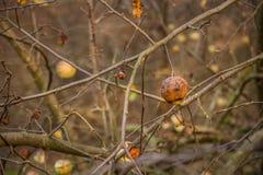De jonge wilde die appel door appel wordt geacclimatiseerd, sluit omhooggaande en selectieve nadruk royalty-vrije stock foto