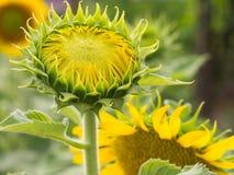 De jonge zonnebloemen, Zonnebloemen zijn groeien tegen een heldere hemel Royalty-vrije Stock Afbeeldingen