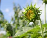 De jonge zonnebloemen, Zonnebloemen zijn groeien tegen een heldere hemel Stock Foto's