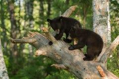 De jonge Zwarte draagt (americanus Ursus) in Boom Royalty-vrije Stock Foto